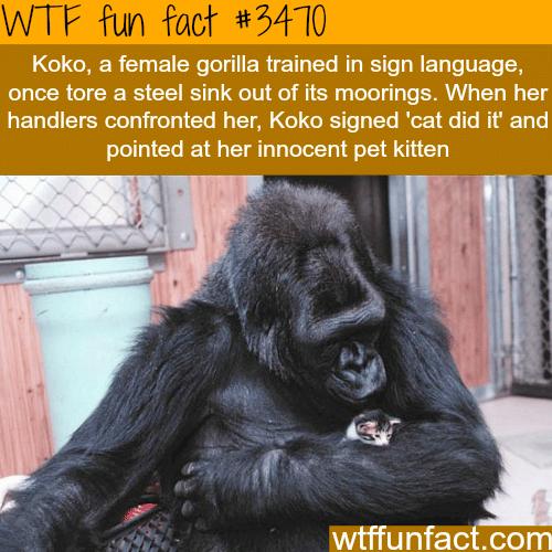 Koko the gorilla and it's kitten - WTF fun facts