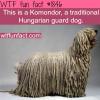 komondor hungarian guard dog