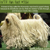 komondor the dog that look like a sheep wtf