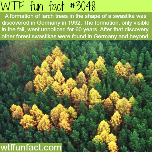 Larch trees form in the shape of a swastika -  WTF fun facts