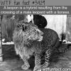 leopon leopard and lioness hybrid