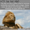 lion facts wtf fun facts