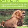 lions encourage their babies by pretending to be