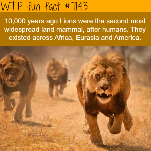 Lions were the most widespread land mammals
