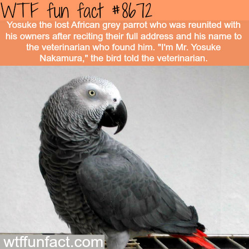 Lost African Grey Parrot told the veterinarian his address - WTF fun facts