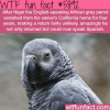 lost english speaking parrot returns to his owner