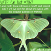 luna moth does not a mouth
