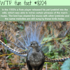 lyrebird wtf fun fact