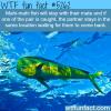mahi mahi fish wtf fun facts