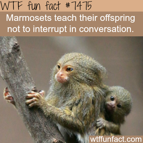 Marmosets - FACTS