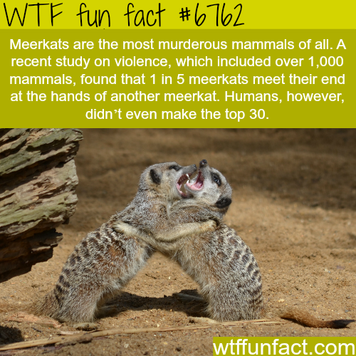 Meerkats facts - WTF fun fact