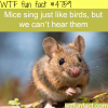mice sing just like birds wtf fun facts