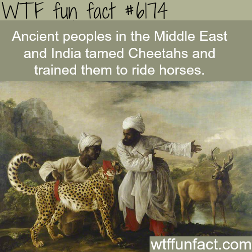 Middle Easterners and Indians trained Cheetahs to ride horses