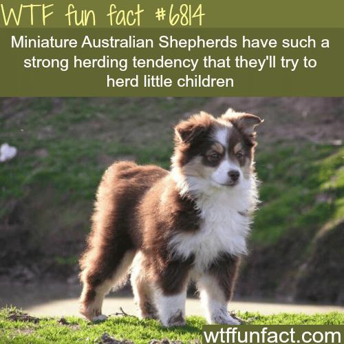 Mini Australian Shepherds - WTF fun fact