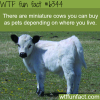 miniature cows wtf fun facts