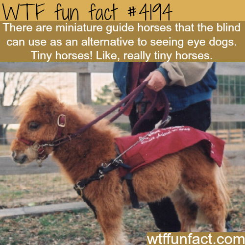 Miniature guide horses for the blind -  WTF fun facts