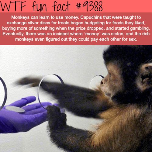 Monkey Using Money - WTF fun facts