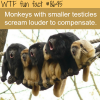monkeys with the smallest testicles scream the