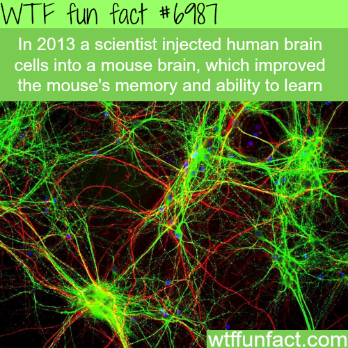 Mouse with human brain - WTF fun fact