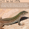 new mexico whiptail wtf fun facts