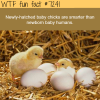 newly hatched baby chicks wtf fun fact
