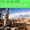 oldest tree in the world wtf fun facts