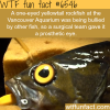 one eyed fish gets a prosthetic eye wtf fun