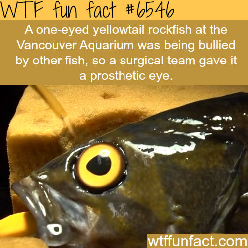 One-eyed fish gets a prosthetic eye - WTF fun facts