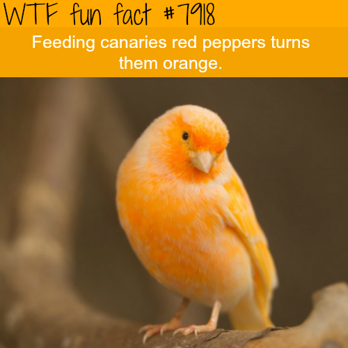 Orange canaries - WTF fun facts