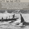 orcas helped whalers hunt whales wtf fun fact