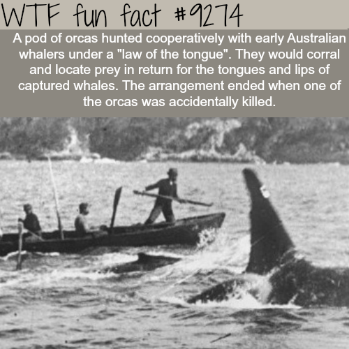 Orcas helped whalers hunt whales - WTF fun fact