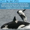 orcas wtf fun fact