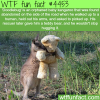orphaned baby kangaroo only want to hug his teddy