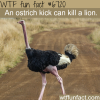ostriches can kill lions wtf fun fact