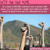 ostriches facts myth busted