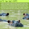 pablo escolar s hippos