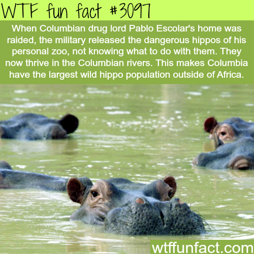 Pablo Escolar's hippos -  WTF fun facts