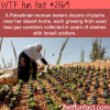 palestinian woman waters plants in tear gas canisters