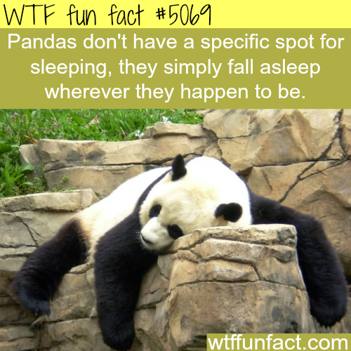 Panda sleeping - WTF fun facts