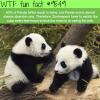 panda twins wtf fun fact