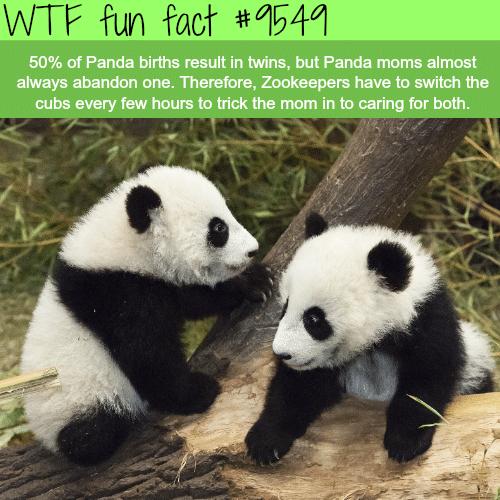 Panda twins - WTF fun fact