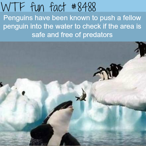 Penguins can be assholes - WTF fun facts