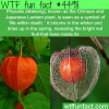 physalis alkekengi life within death wtf fun
