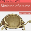 picture of a skelton of a turtle
