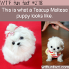 picture of teacup maltese puppy
