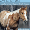 pictures of curly horse american bashkir