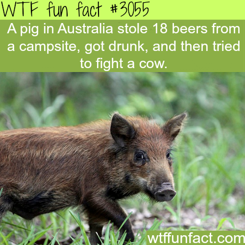 Pig in Australia drinks beer and fights a cow -WTF fun facts