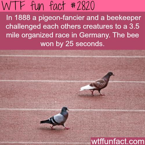 Pigeon VS Bee