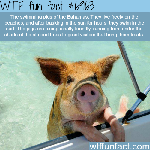 Pigs of the Bahamas - WTF fun fact