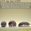 pill bugs wtf fun facts
